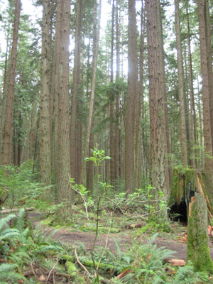 A typical landscape on which Podzols occur, here Pacific Spirit Park, Vancouver, BC